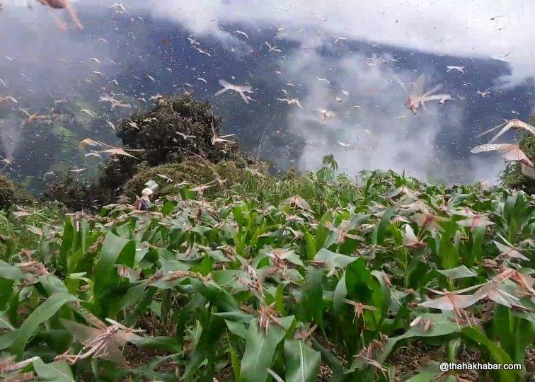 दाङको सीमा क्षेत्र हुँदै सलहको ठूलो झुण्ड सुर्खेत छिर्यो भिडियोसहित