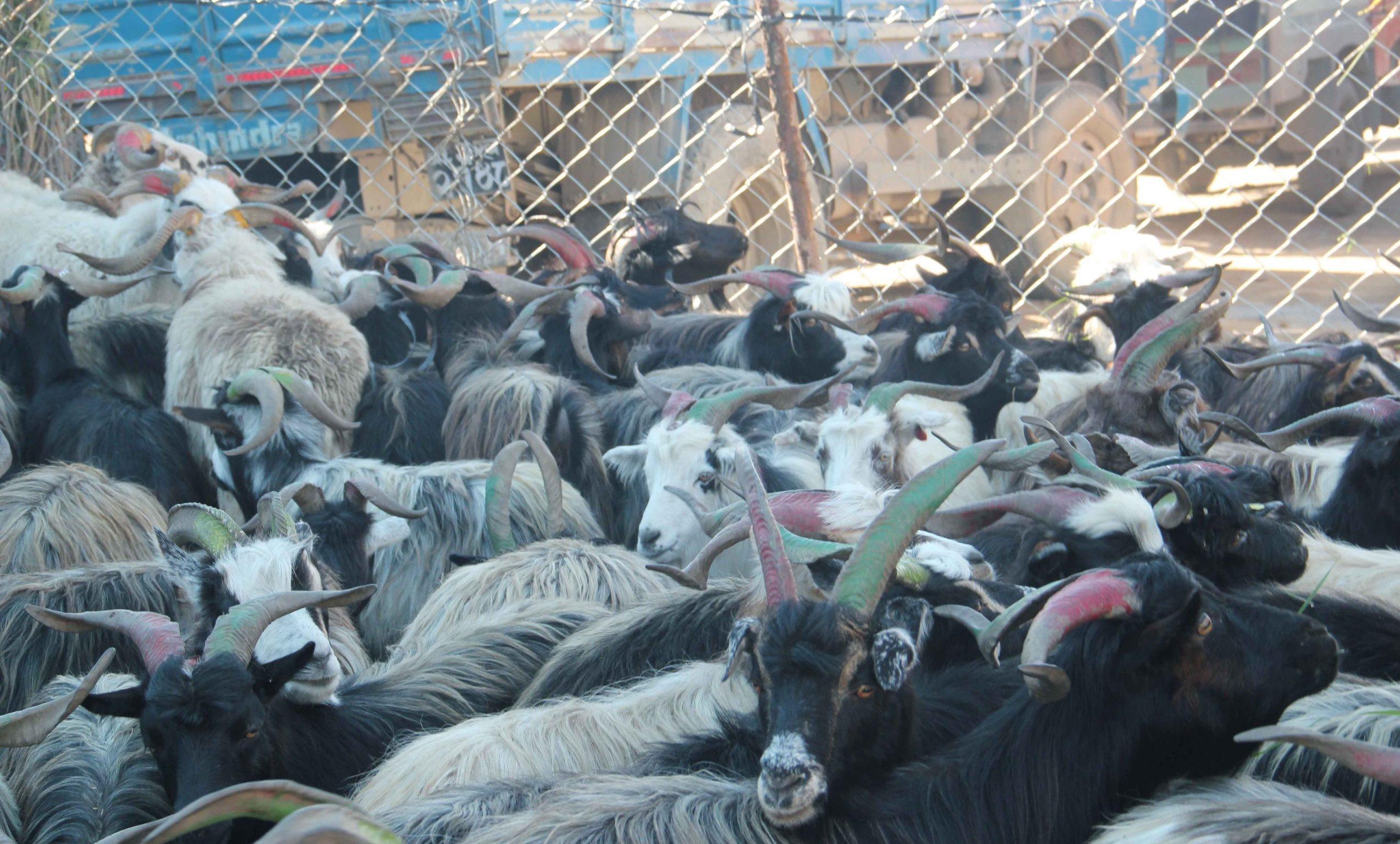खाद्य संस्थानले भाेलिबाट दशैंका लागि खसीबोका बिक्री गर्ने,प्रतिकिलोकाे मूल्य ५६० निर्धारण